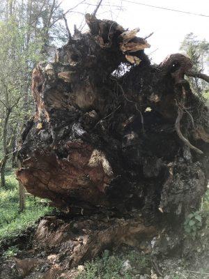 Wurzel eines umgestürzten Baumes