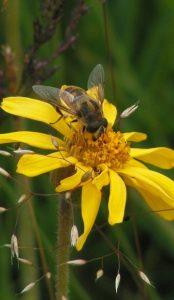 Arnikablüte mit Biene