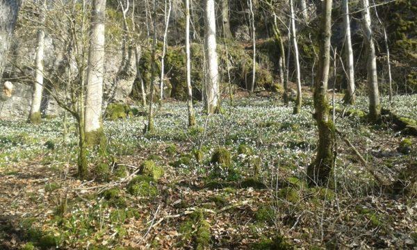 Der Waldboden ist voller blühender Märzenbecher